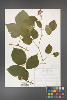 Rubus fabrimontanus [KOR 50404]