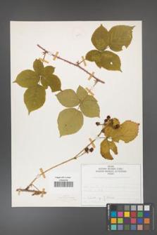 Rubus fabrimontanus [KOR 50433]