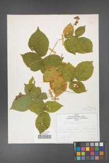 Rubus fabrimontanus [KOR 50429]