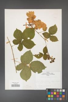 Rubus fabrimontanus [KOR 50426]