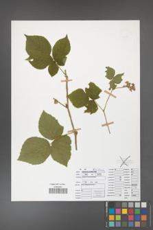 Rubus fabrimontanus [KOR 50424]