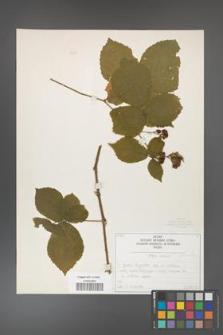 Rubus fabrimontanus [KOR 50423]