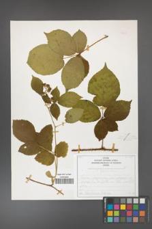 Rubus fabrimontanus [KOR 50437]