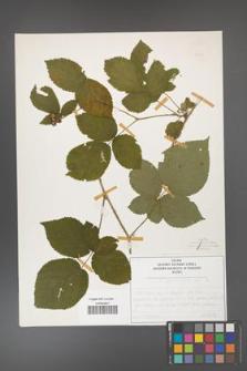 Rubus fabrimontanus [KOR 50434]
