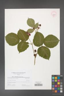 Rubus fabrimontanus [KOR 44715]