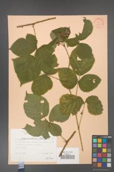 Rubus fabrimontanus [KOR 30937]