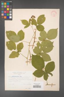 Rubus fabrimontanus [KOR 30954]