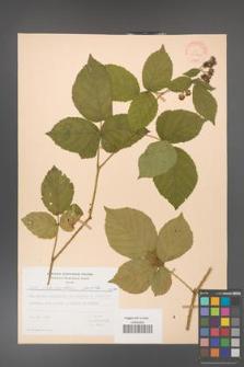 Rubus fabrimontanus [KOR 30960]