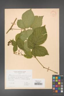Rubus fabrimontanus [KOR 30962]