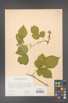 Rubus fabrimontanus [KOR 30961]