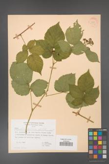 Rubus fabrimontanus [KOR 30963]