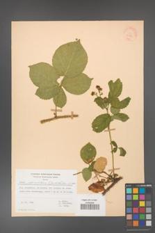 Rubus fabrimontanus [KOR 30939]