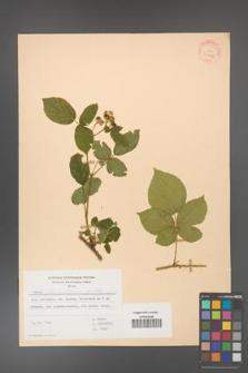 Rubus fabrimontanus [KOR 30948]