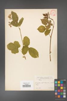 Rubus fabrimontanus [KOR 10594]