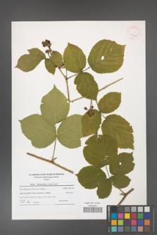 Rubus fabrimontanus [KOR 41220]