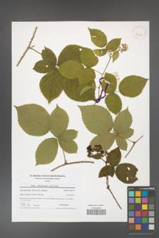 Rubus fabrimontanus [KOR 41595]