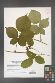 Rubus fabrimontanus [KOR 40703]
