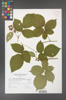 Rubus fabrimontanus [KOR 40701]