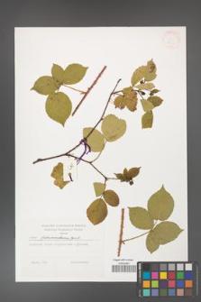 Rubus fabrimontanus [KOR 38336]