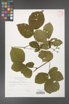 Rubus fabrimontanus [KOR 29408]