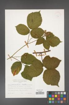 Rubus fabrimontanus [KOR 24915]