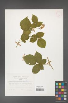 Rubus fabrimontanus [KOR 25424]