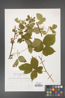 Rubus fabrimontanus [KOR 25427]