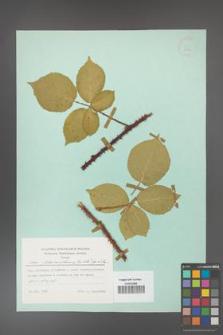 Rubus fabrimontanus [KOR 23894]