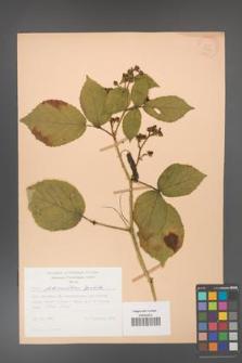 Rubus fabrimontanus [KOR 27998]