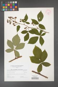 Rubus flos-amygdalae [KOR 44318]