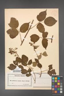 Rubus foliosus [KOR 18458]