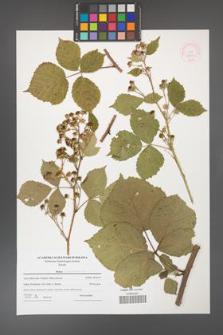 Rubus franconicus [KOR 52652]