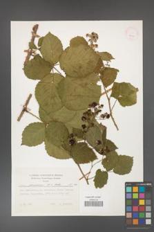 Rubus franconicus [KOR 24923]