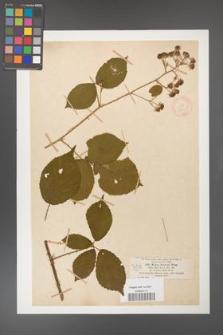 Rubus fuckeli [KOR 18460]