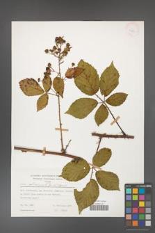 Rubus gliviciensis [KOR 25856]