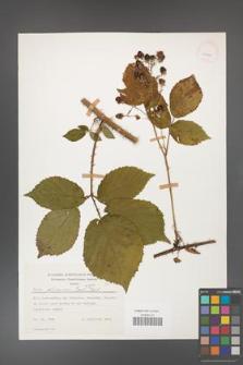 Rubus gliviciensis [KOR 25861]