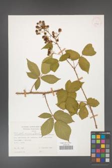 Rubus gliviciensis [KOR 25857]