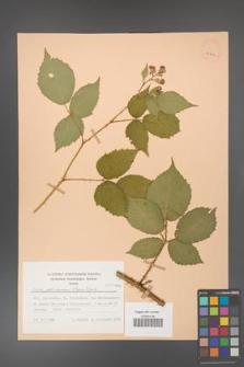 Rubus gliviciensis [KOR 25864]