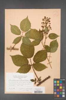 Rubus gliviciensis [KOR 25873]