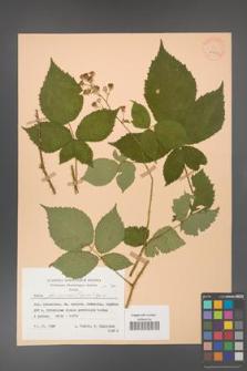 Rubus gliviciensis [KOR 25867]