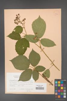 Rubus gliviciensis [KOR 25858]