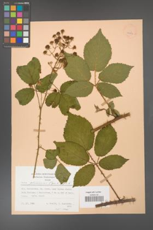 Rubus gliviciensis [KOR 25854]