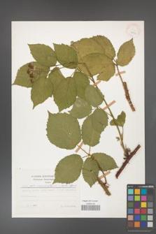 Rubus gliviciensis [KOR 25844]