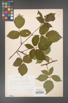 Rubus gliviciensis [KOR 25869]