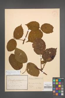Rubus pedemontanus [KOR 18465]