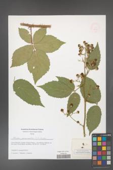 Rubus geminatus [KOR 51625]