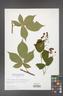 Rubus geminatus [KOR 51645]