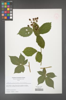Rubus geminatus [KOR 51638]