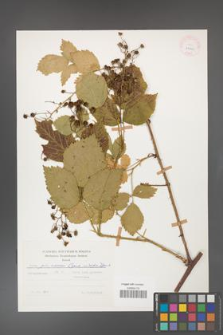 Rubus gliviciensis [KOR 25840]