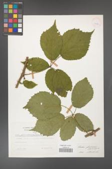 Rubus gliviciensis [KOR 25842]